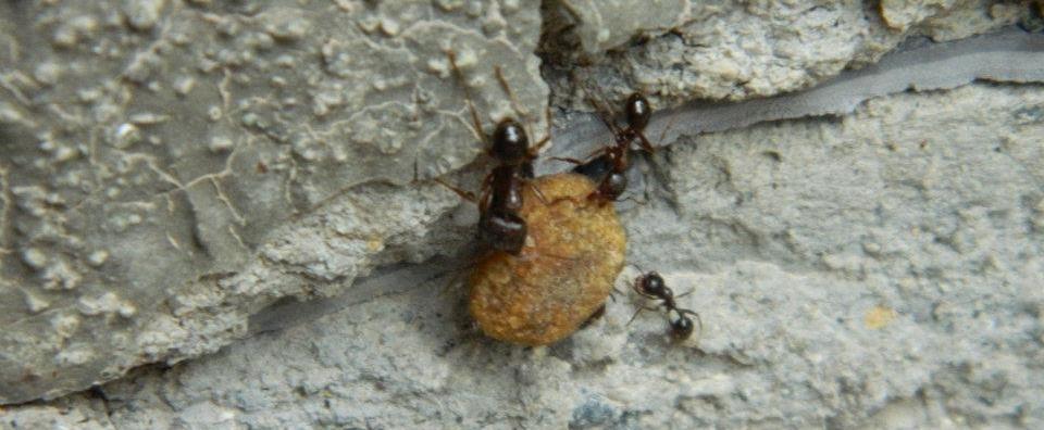 La forza delle formiche terre di montechiarugolo for Debellare formiche