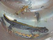 Salamandra nei canali di San Geminiano PR