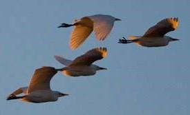 volo di uccelli sul parco dell'Enza
