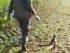 Un fagiano per amico cacciatore in fuga