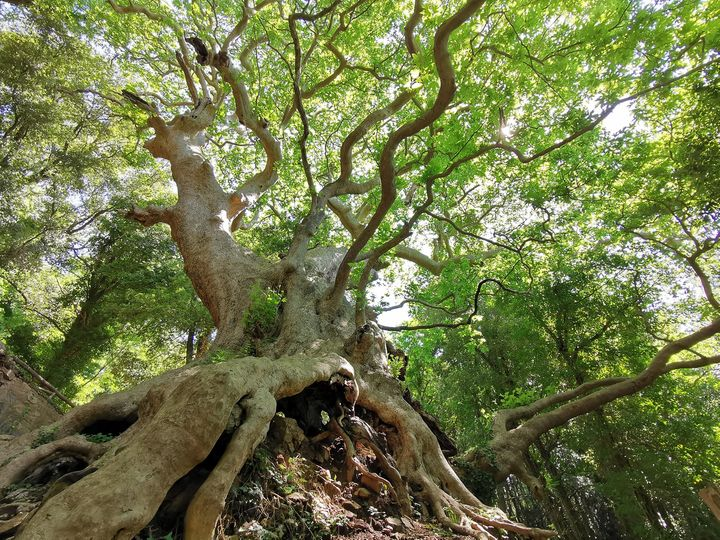 Giant Trees Foundation Votate per il Platano di Curinga 2021
